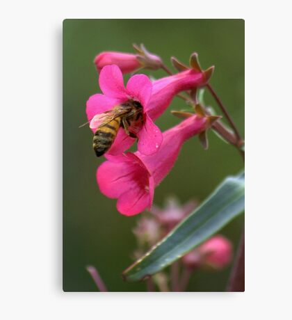 Pollinating The Spring Penstemon Canvas Print