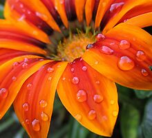 Orange Flower After Rainfall by vkittelsen