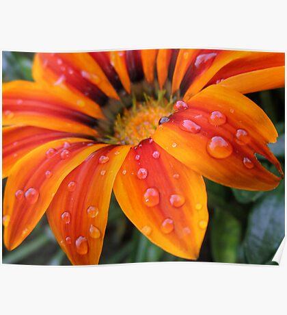 Orange Flower After Rainfall Poster