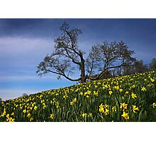The Old tree and the Daffodils Photographic Print