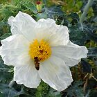 Honey Bee on Prickly Poppy by Bill Morgenstern