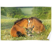 Two Connemara pony foals Poster