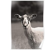 Speckled Faced Sheep Poster