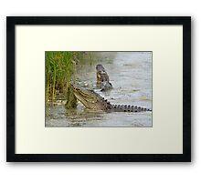 Bellowing Alligators Framed Print