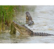 Bellowing Alligators Photographic Print