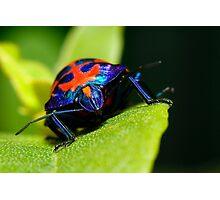 Stink bug 007 Photographic Print