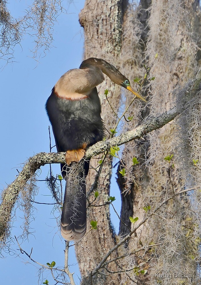 Female Anhinga & Spanish Moss by Kathy Baccari