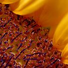Sunflower Stars by lensbaby