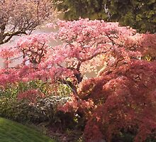 Graceful Japanese Maple in Early Spring by seeingred13