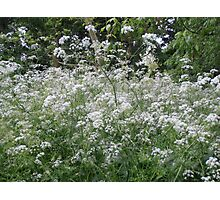 White frothy flowers Photographic Print