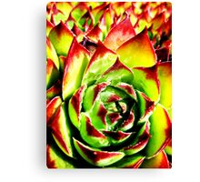 Sempervivum  Canvas Print