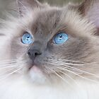 Fluffy Ragdoll Cat by mrwall