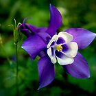 Aquilegia by Theresa Elvin