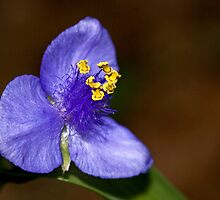 Spiderwort by Otto Danby II