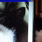 Caligula lurking behind wallpaper photo of my new kitten Zappa by redqueenself