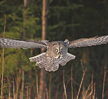 Great Gray on the way by Heather King