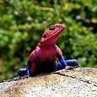 King of  Naabi Hill - Male Agama Lizard (Agama mwanzae) - Central  Serengeti  Tanzania by john  Lenagan