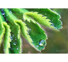 Water Droplets on Lady's Mantle Photographic Print