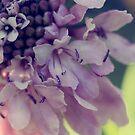 Pincushion flower close up by Lynn Starner