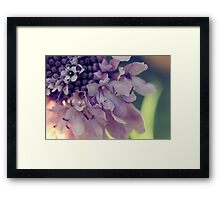 Pincushion flower close up Framed Print