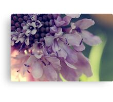 Pincushion flower close up Canvas Print