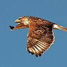 Ferruginous Hawk from Whitewater Draw by Marvin Collins