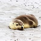 A baby sea lion at Seal Bay, Kangaroo Island by Elana Bailey