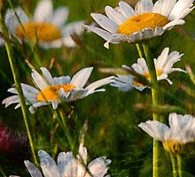 Wild Daisies by ACampbell