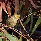 White-plumed Honeyeater by John Sharp