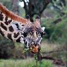Giraffe - G. camelopardalis -  Southern Serengeti  Tanzania by john  Lenagan