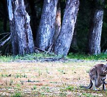 A kangaroo and her joey at Halls Gap, Victoria by Elana Bailey