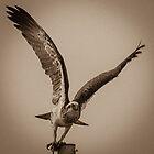 Eagle Takes Flight by ashercobb