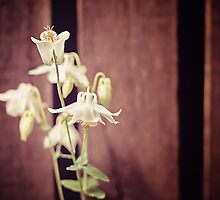 White Flowers against Dark Wooden Fence by Natalie Kinnear