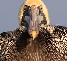 Grumpy Pelican by William C. Gladish