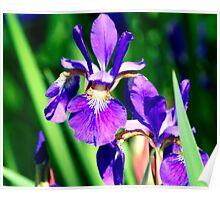 Pocono Iris Poster