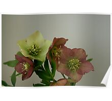 Mixed hellebore fowers Poster