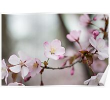 Icy Cherry Blossoms Poster