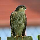 Sparrow Hawk  by webbo