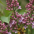 Lilac Blooming by Stephen Thomas