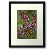 Lilac Blooming Framed Print