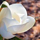 Wondrous White Magnolia by ©Dawne M. Dunton
