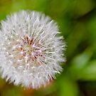 Dandelion by M.S. Photography & Art