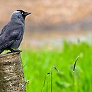 Jackdaw by M.S. Photography & Art