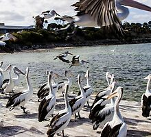 Pelican feeding at Kingscote, Kangaroo Island by Elana Bailey