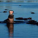 Hippopotamus by Paul Tait