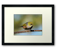 Silver Eye - waiting in anticipation.........! Framed Print