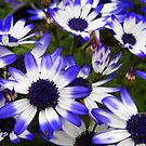 Cinerarias by WildestArt