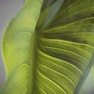 Zantedeschia aethiopica by Joshua Greiner