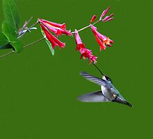 HUMMING BIRD by TomBaumker
