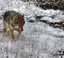 Kootenay Wolf by JamesA1